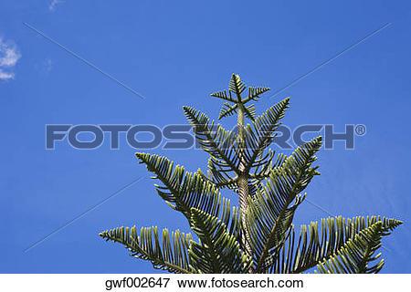 Picture of New Zealand, Norfolk Pine (Araucaria heterophylla.