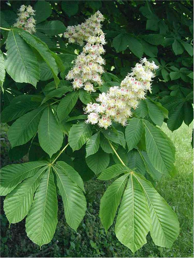 1000+ images about Horse Chestnuts on Pinterest.
