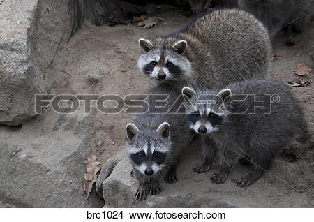 Stock Photo of Mother and young North American Raccoons. brc1024.