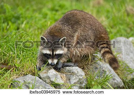 "Stock Image of ""Common Raccoon, Northern Raccoon or North American."