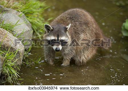 "Stock Photo of ""Common Raccoon, Northern Raccoon or North American."