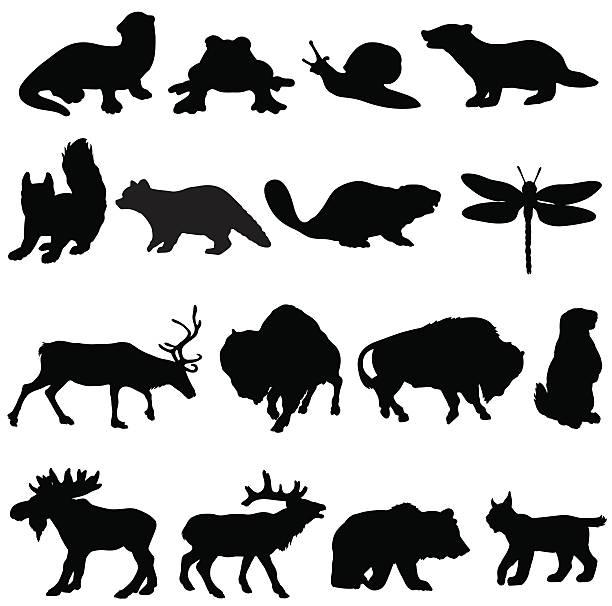 North American Raccoon Clip Art, Vector Images & Illustrations.
