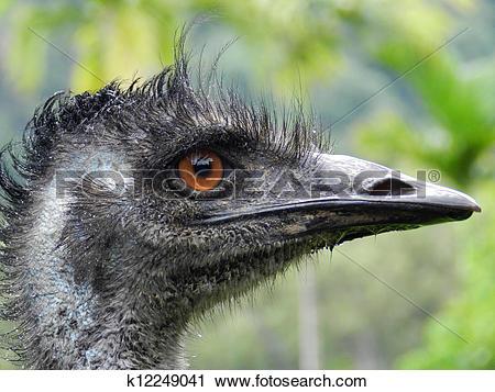 Stock Photography of Emu (Dromaius novaehollandiae), large.