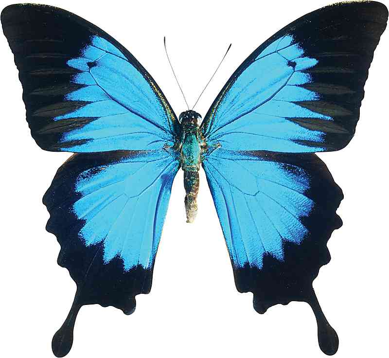 The Ulysses Butterfly is one of the iconic insects of north.