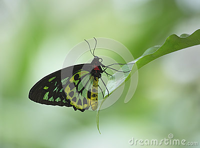 Cairns Birdwing Butterfly Stock Photography.