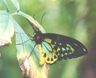 Common Eggfly Butterfly.