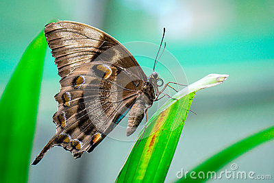 Ulysses Butterfly Royalty Free Stock Images.