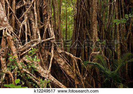 Picture of Strangler Fig (cathedral fig) near Yungaburra, Atherton.