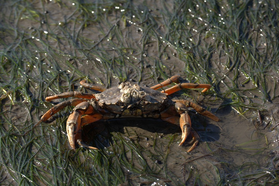 Free photo Zehnfußkrebs Short Tail Cancer Watts North Sea Crab.