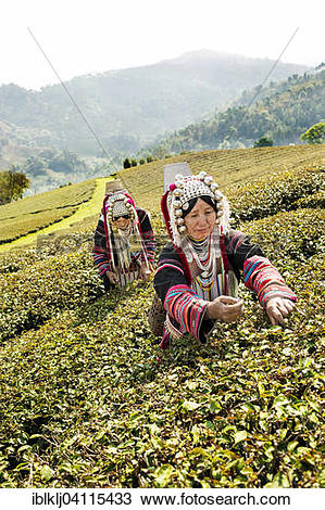 Stock Photo of Akha hill tribe women picking tea, Doi Mae Salong.