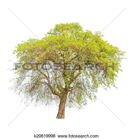 Pictures of Tamarind tree (Tamarindus indica) tropical tree in the.