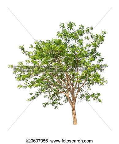 Stock Images of Neem plant (Azadirachta indica), tropical tree in.