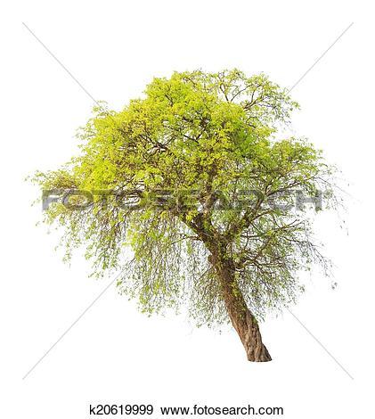 Stock Photograph of Tamarind tree (Tamarindus indica) tropical.