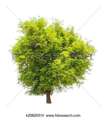 Stock Photo of Tamarind tree (Tamarindus indica) tropical tree in.