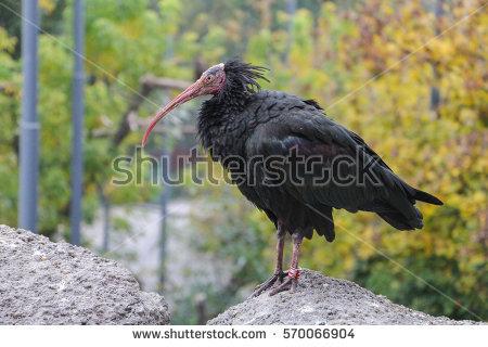 Bald Ibis Stock Photos, Royalty.
