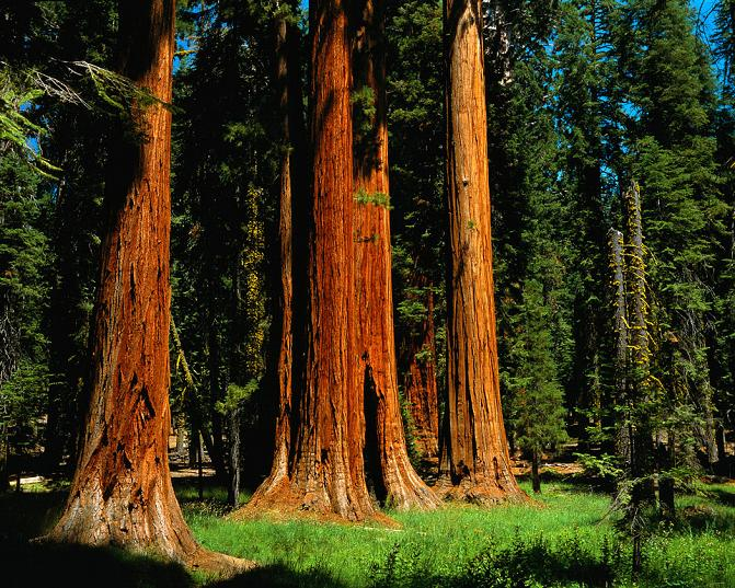 Redwood Forest Clipart Clipground