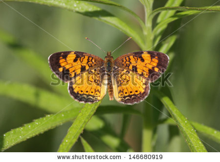 Northern Crescent Butterfly Stock Photos, Royalty.