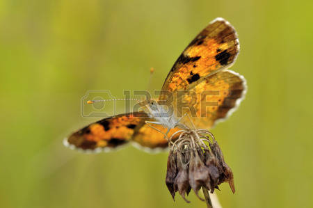 Crescent Butterfly Stock Photos Images. Royalty Free Crescent.