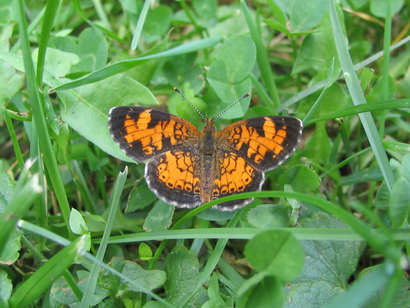 Northern Crescent butterfly. Phyciodes cocyta.