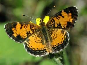 1000+ images about California Butterflies on Pinterest.