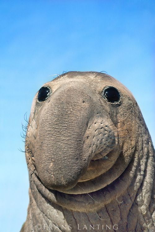 Images: Northern Elephant Seal Female.