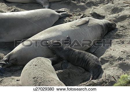 Stock Photography of Northern elephant seal (Mirounga.