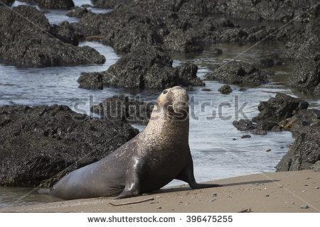 Northern Elephant Seals Stock Photos, Royalty.