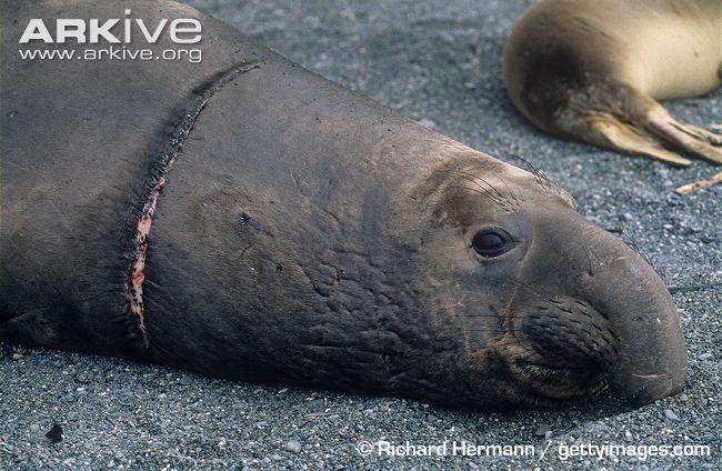 Elephant Seals Size.