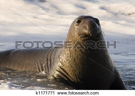 Northern elephant seal clipart - Clipground