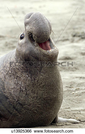 Stock Images of Northern Elephant Seal Roaring u13925366.