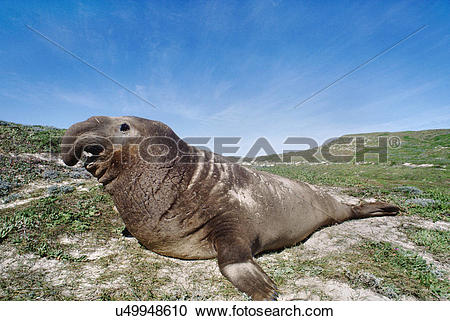 Stock Photography of Northern elephant seal bull basking on the.