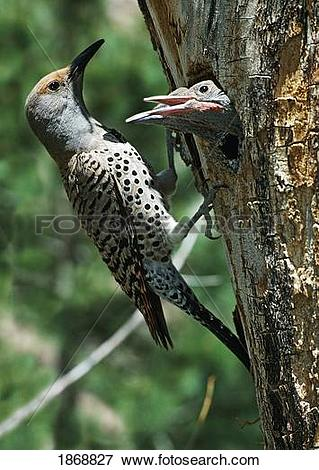 Picture of female northern flicker (colaptes auratus) greeted by.