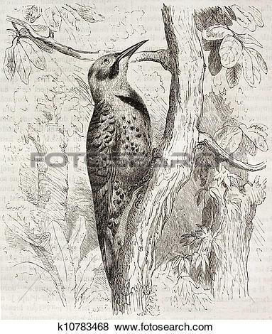 Stock Illustration of Northern Flicker k10783468.