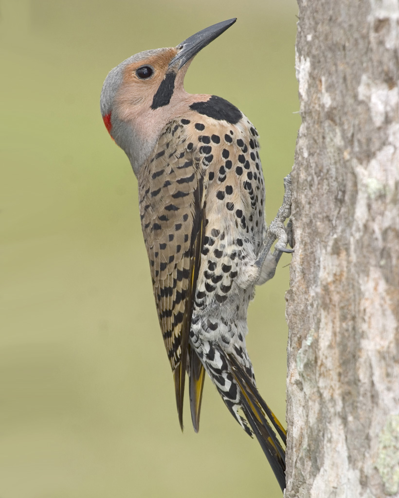 Northern Flicker Yellow.