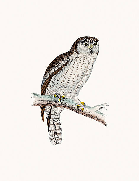 Northern Hawk Owl Clip Art, Vector Images & Illustrations.