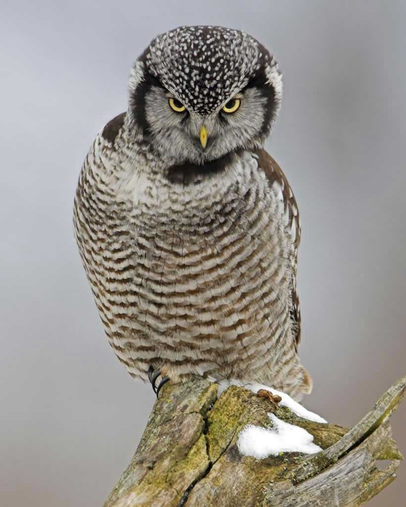 Northern Hawk Owl.