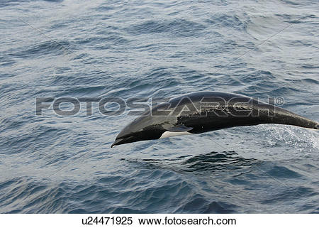 Stock Image of Northern right whale dolphin (Lissodelphis borealis.