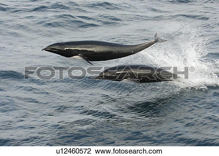 Stock Photo of Northern right whale dolphin (Lissodelphis borealis.