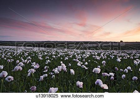 Stock Image of England, Northamptonshire, Northampton. A field of.