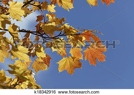 Stock Images of Norway maple in autumn, Germany k18342916.