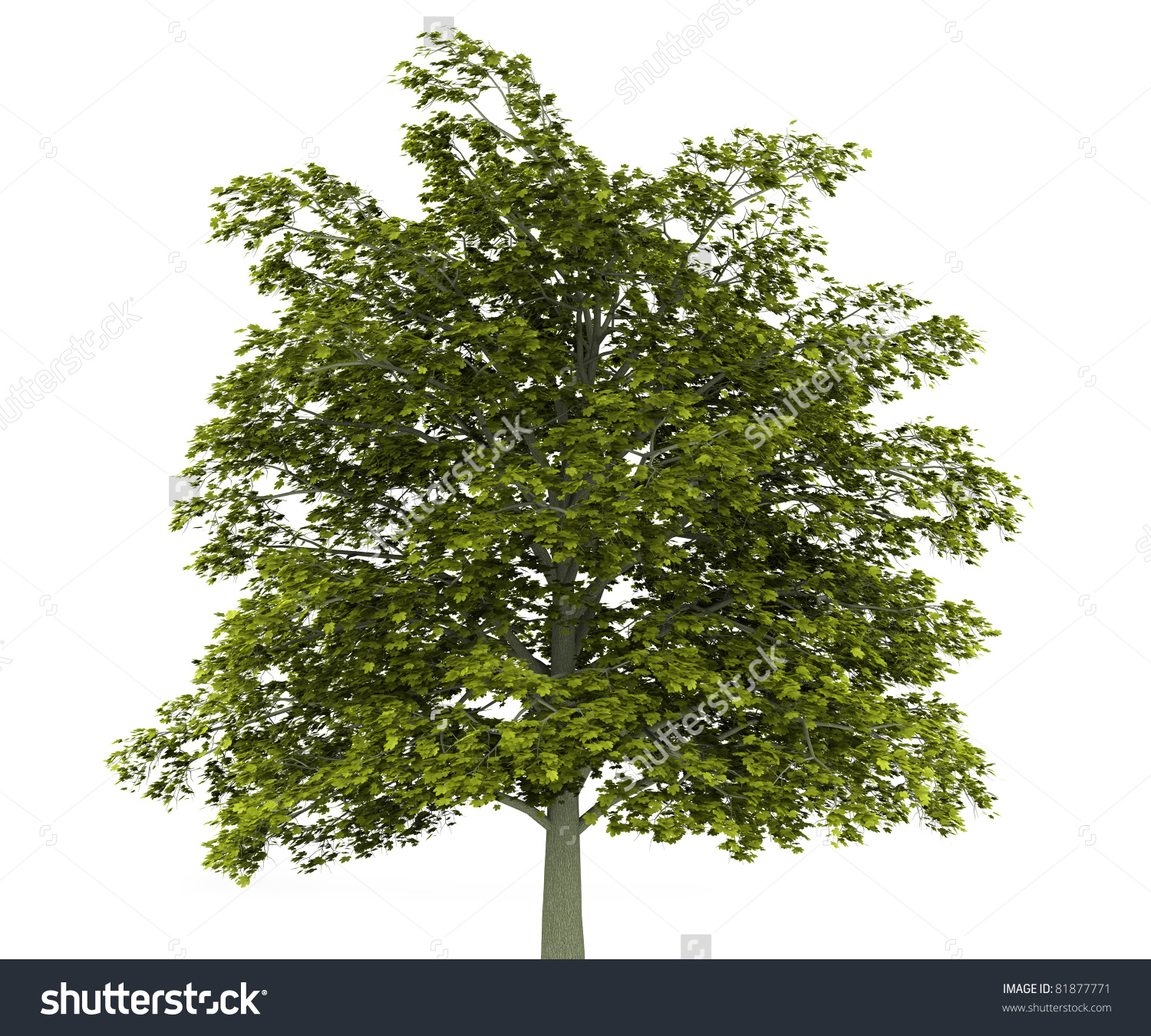 Norway Maple Tree Isolated On White Stock Illustration 81877771.