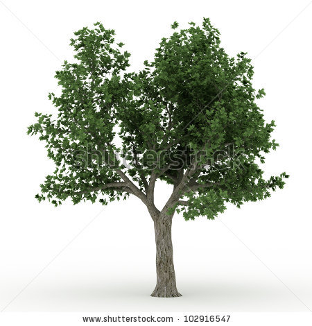 Norway Maple Stock Photos, Royalty.