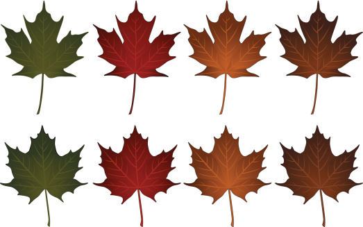 Norway Maple Clip Art, Vector Images & Illustrations.