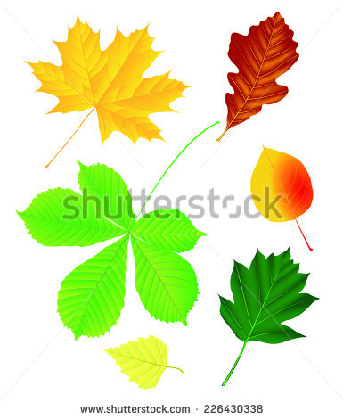 Norway Maple Stock Vectors & Vector Clip Art.