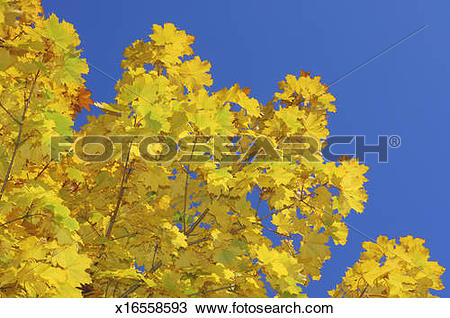 Stock Photo of Autumn leaves of Norway maple x16558593.