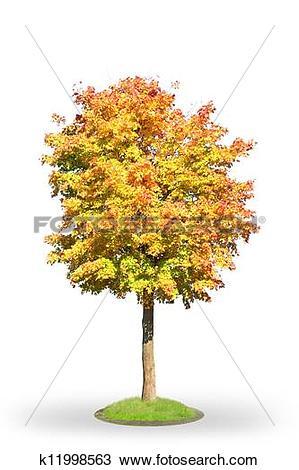 Stock Photo of Norway maple in autumn k11998563.