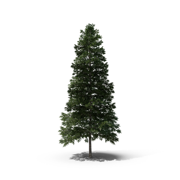 Norway Spruce Tree PNG Images & PSDs for Download.