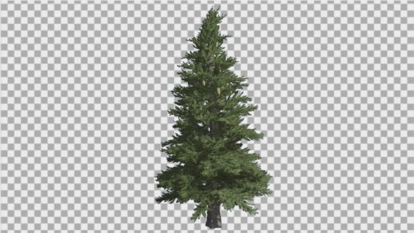 Norway Spruce Picea Abies Branchy Tree Coniferous.