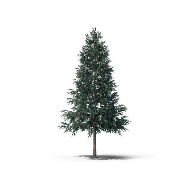 Norway Spruce PNG Images & PSDs for Download.