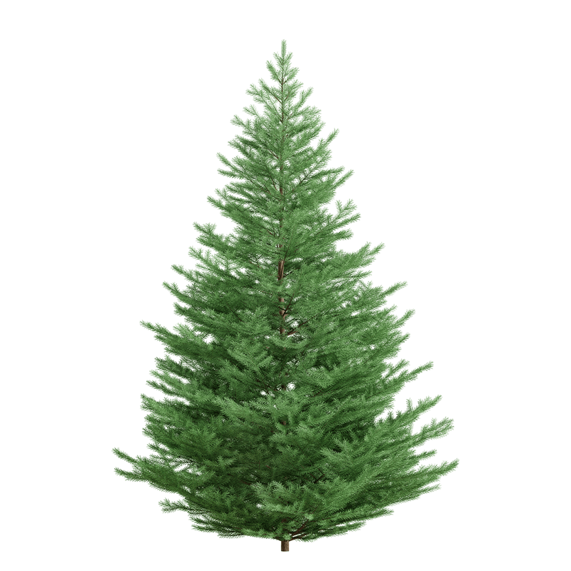 Norway spruce with stand.